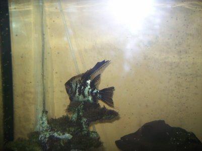 Mon aquarium et mes poissons (enfin les deux plus gros car tous les petits sa cachent  ^^ )
