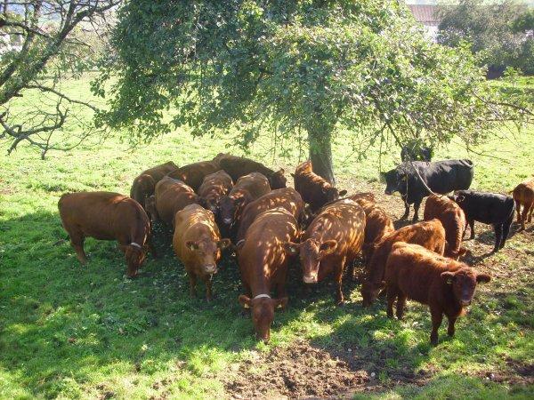 voici un perti troupau de vaches de veaux et d'un taureau