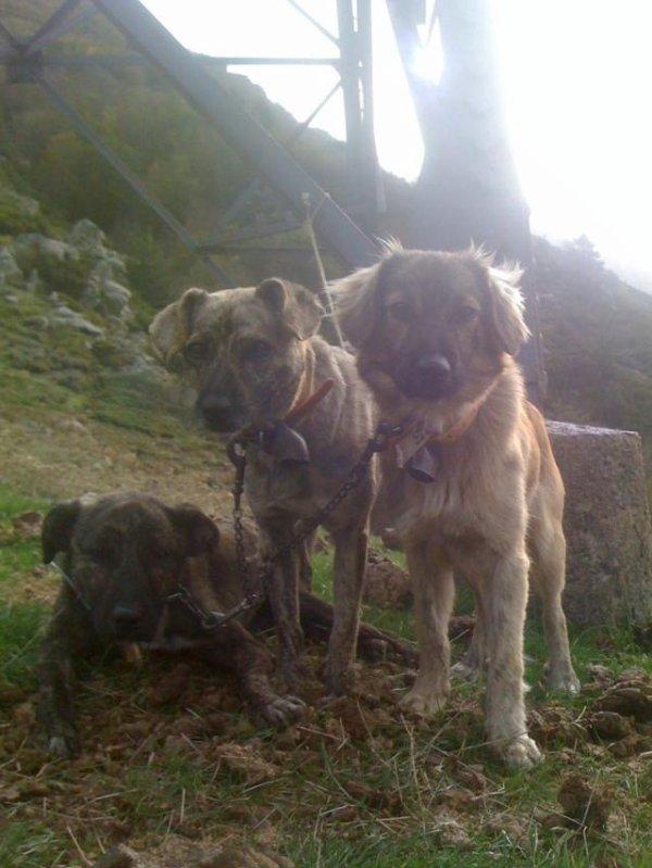 Dimanche 21 Octobre 2012 : Un travail des chiens remarquable !
