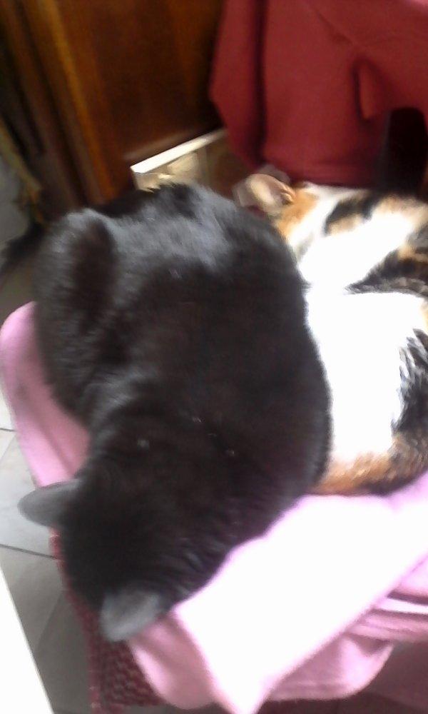 Olympe (le chat multicolore) et Ashrel (le chat noir)