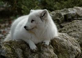 Fiche d'identité du renard roux