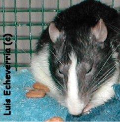 les différence rats domestiques