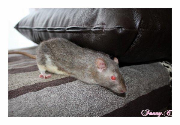 rat red devil