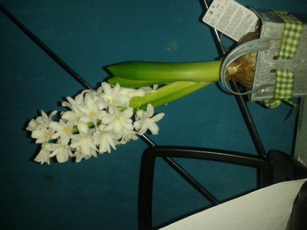 La jolie jacinthe que ma mère m'a offert c'est ma fleur préférée !