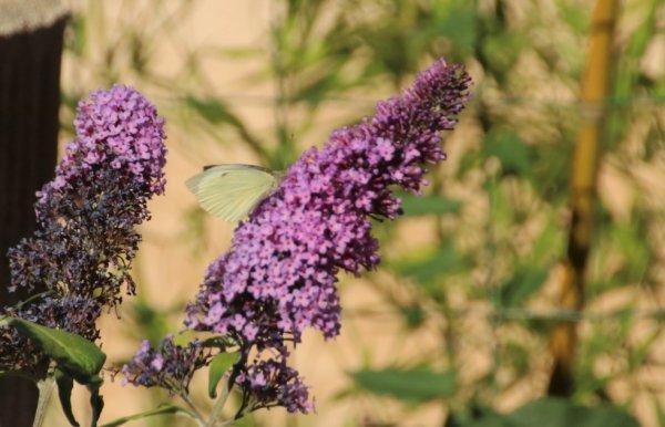 papillon sur un arbre a papillon