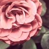 La naissance d'une rose.