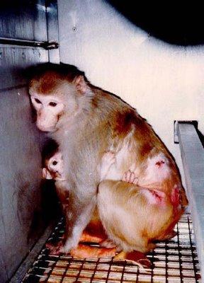 Les animaux ne sont pas volontaires pour la vivisection.