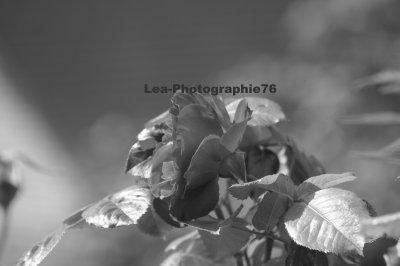 Rouge vif ou blanche, la rose est LA fleur par excellence. Beauté du jardin et protégée des jardiniers, elle irradie de toute sa splendeur. Méfiez-vous néanmoins de ses épines !