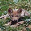 loups-louves-42