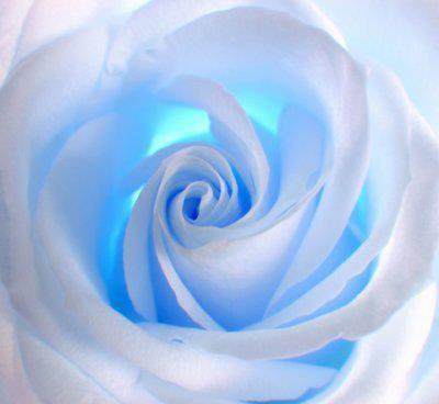Tres belles roses