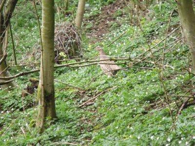 poule prise en photo au bois