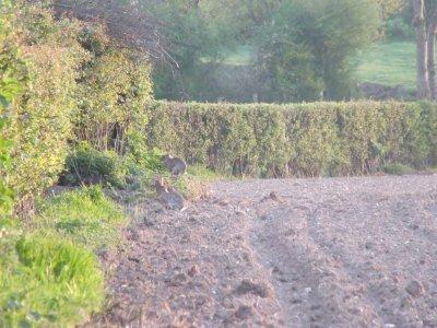 lapin de garenne pris sur terrain