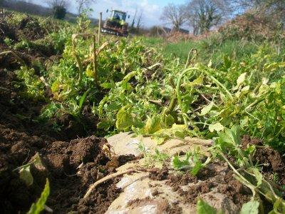 Dechaumage 2011 avec notre Arion 630 et avec le cover-crop de l'ETA Touzé a plouvara :)
