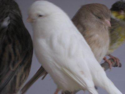 Gloster consort blanc