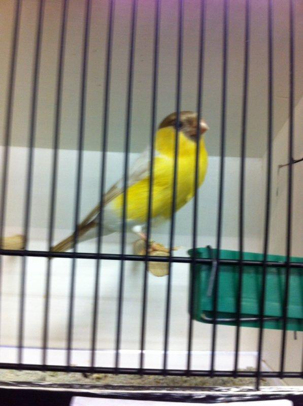 Bouvreuil mutation jaune