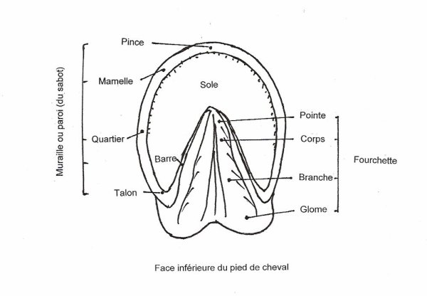 Les principales caractéristiques anatomiques du pied et des sabots des chevaux