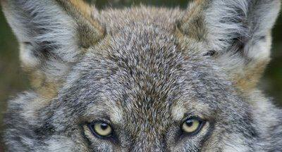 Au loup... au loup...