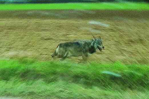 Loup ou pas..