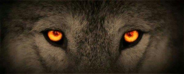Le regard du loup