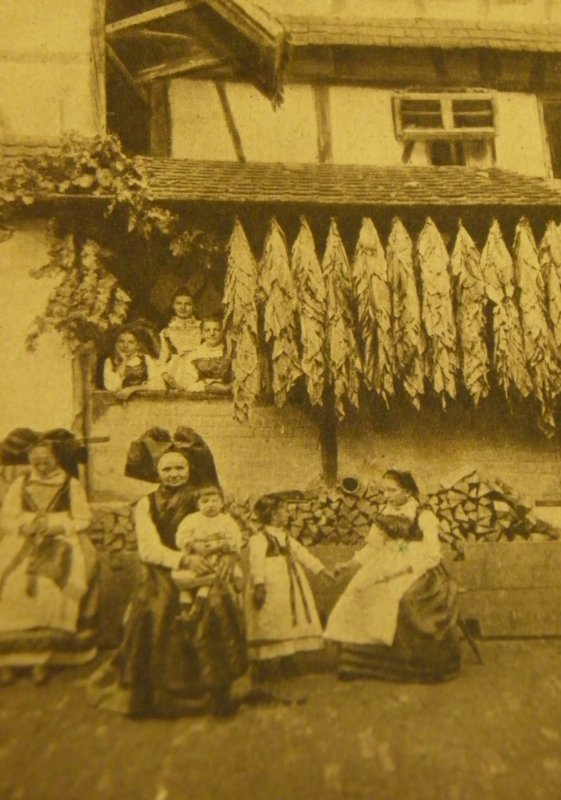 La culture du Tabac en Alsace