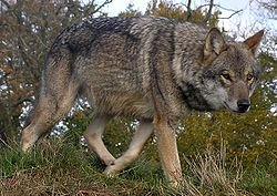 Les loups dans le monde 1-Le loup gris commun