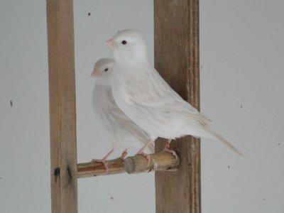 Satiné blanc