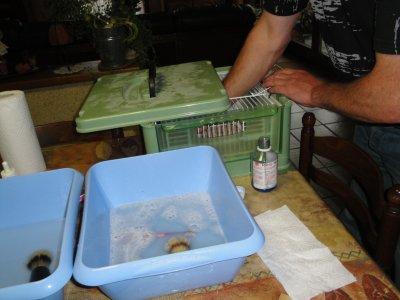 Lavage des canaris avant l'exposition