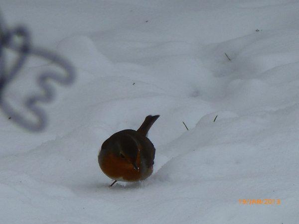 oiseaux d'hiver avec un trés beau pic épèche