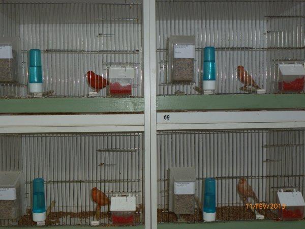 Tout est prêt les femelles sont en cages