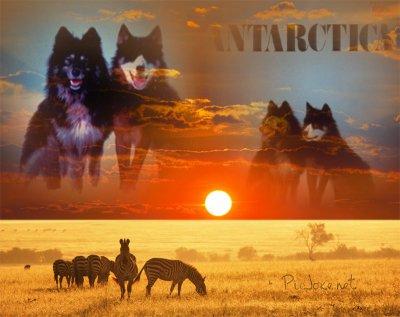 des montage des chiens de antarctica