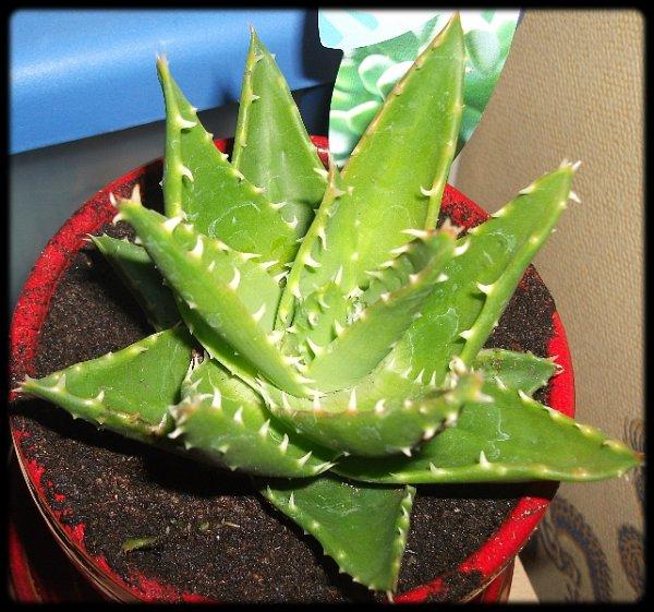 blog de plantes grasses bonsai blog sur les bonsa et les plantes grasses. Black Bedroom Furniture Sets. Home Design Ideas