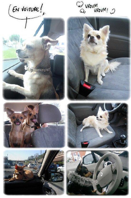 Mon chien à la mal des transports