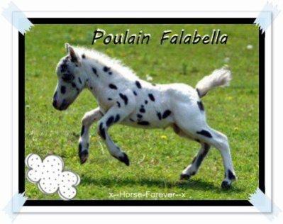Un Falabella poulain *-*