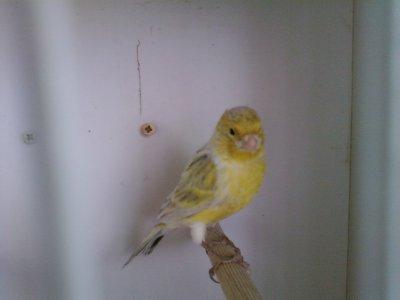 Negro opala amarelo