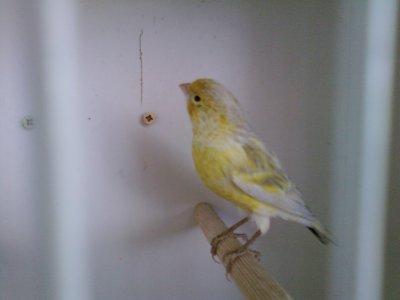 O mesmo Negro Opala Amarelo