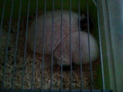 mes rats russes