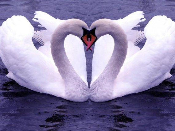 Cigne Amoureux ♥♥