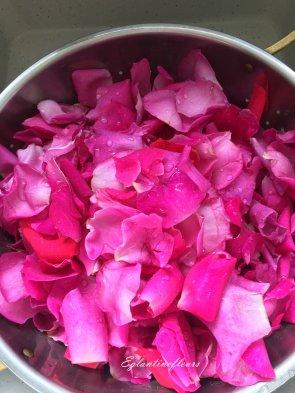 Autour de la Rose...
