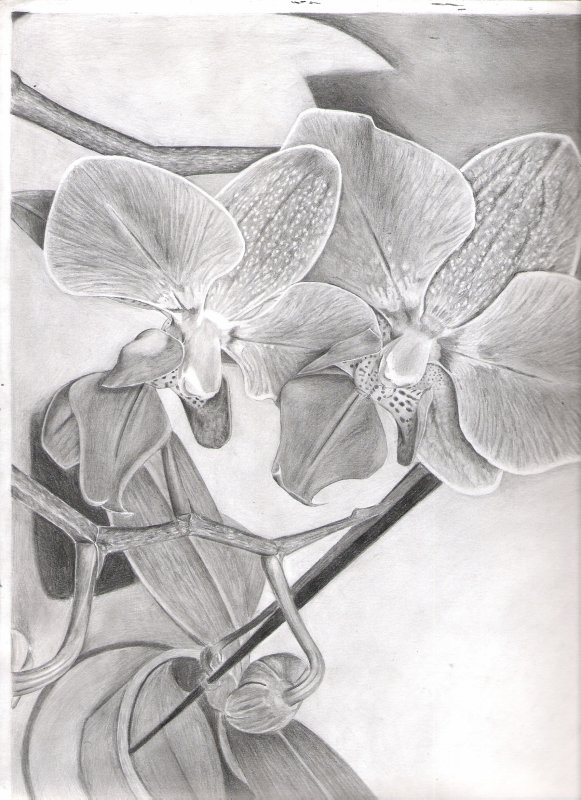 Orchidées 25.03.11