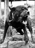Photo de Rottweiler92