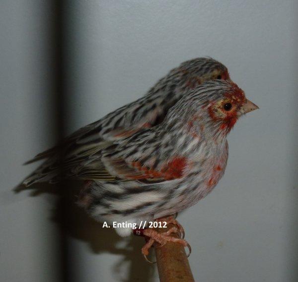 agaat rood moz  / filhotes 2012