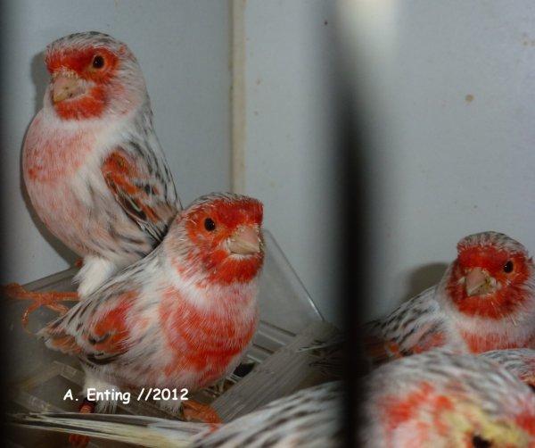 agaattopaas rood moz /2012