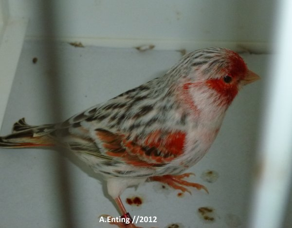 agaattopaas rood moz//2012(jonge vogels)