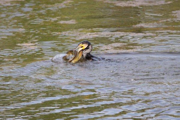 Cormoran VS anguille