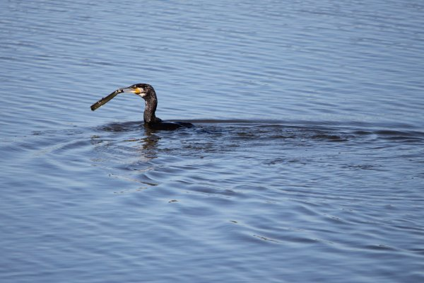 Cormoran VS anguille (2)