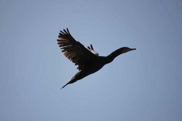 Le vol du cormoran