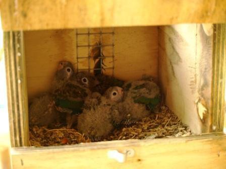 """Suite 5 bébés Conure à ventre rouge """"perlata perlata"""""""