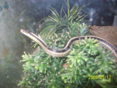 mon encien serpent !!