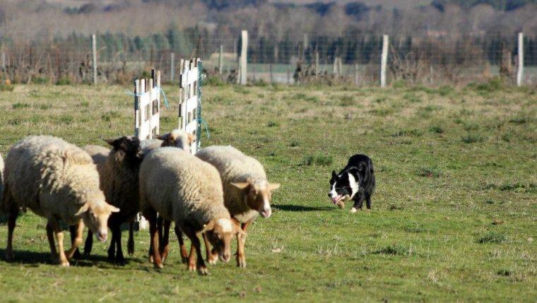 Stage de conduite du chien de troupeaux le Mercredi 28 Décembre dans L'Aude.