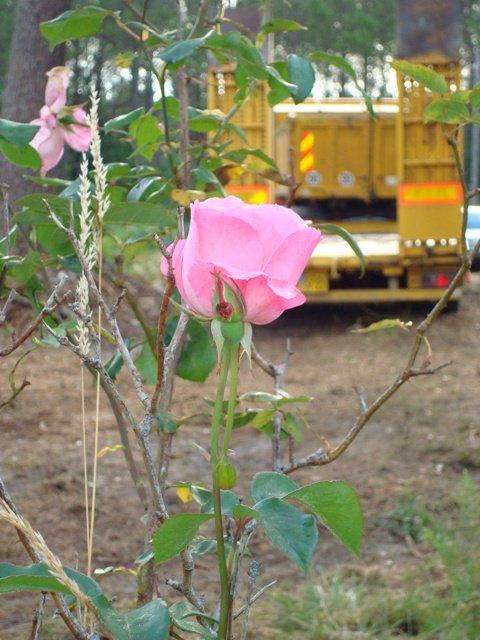 jolie rose contre gros camion !